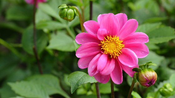Dahlia Flower Free Website Background Image