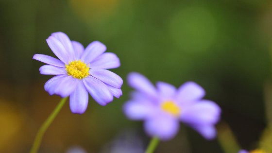 Light Violet Aster Free Website Background Image