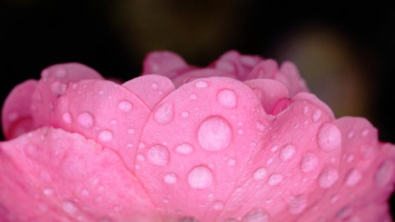 Pink Rose Petals With Water Drops Free Website Background Image