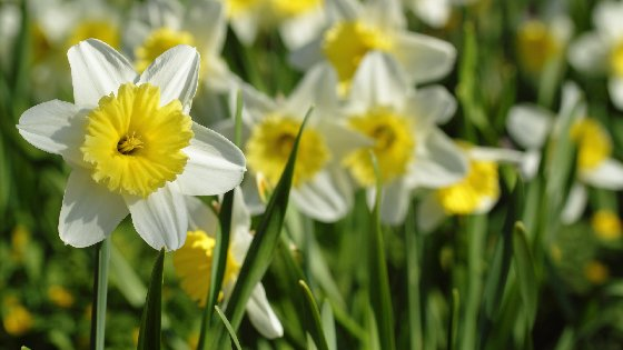 Standing Out Narcissus Free Website Background Image