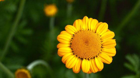 Yellow Daisy Free Website Background Image