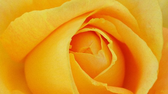 Yellow Rose Petals Free Website Background Image
