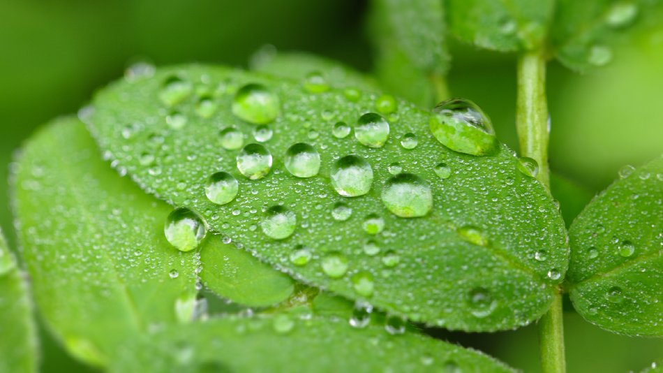 Water Drop Pearls On Green Leaves Free Website Background Image