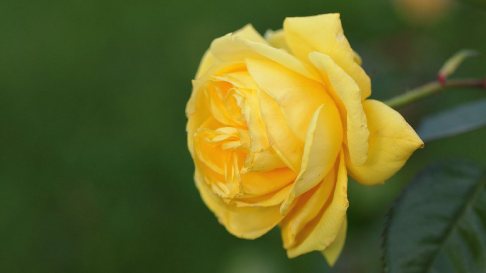 Yellow Rose Free Website Background Image